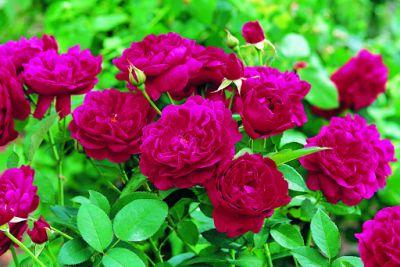 Розы после зимы: когда открывать и чем обработать