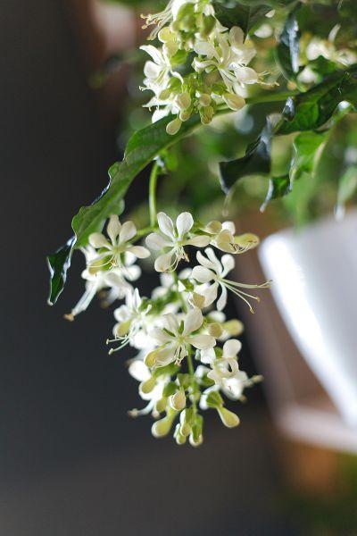 Клеродендрум (Clerodendrum Prospero Carly)