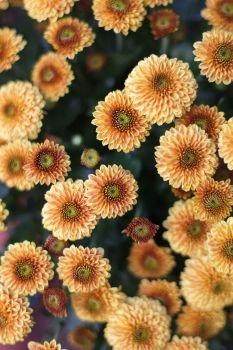 Хризантема Сантини оранжевая