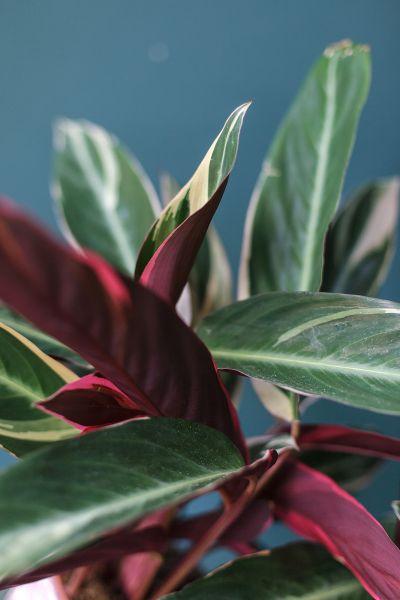 Строманта Триостар (Stromantha Triostar)
