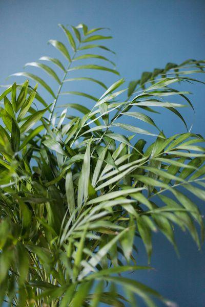 Хамедорея изящная (Chamaedorea Elegans) 70 см