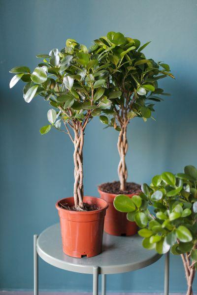 Фикус Мокламе (Ficus Moclame) 70 см