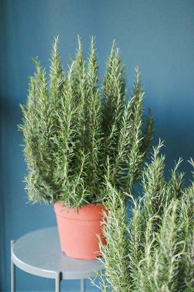 Розмарин (Salvia rosmarinus) 65 см