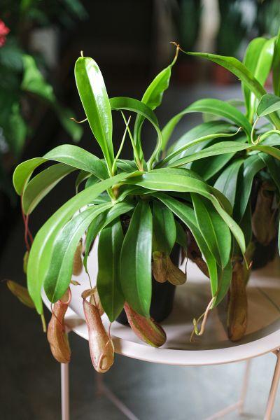 Непентес Алата (Nepenthes alata) 40 см