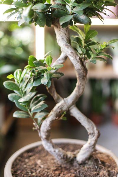 Фикус Гинсенг (Ficus ginseng) 70 см