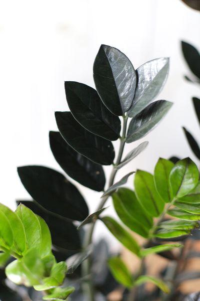 Черный замиокулькас (Zamioculcas Blaсk Raven/ Davon)