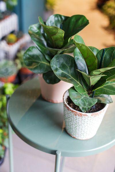 Фикус Лирата Бамбино (Ficus Lyrata Bambino)