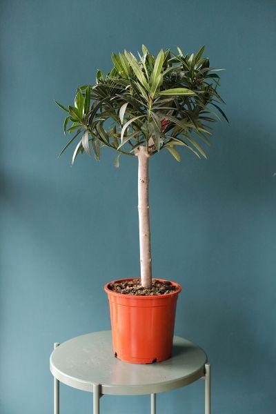 Нериум Олеандр (Nerium oleander)