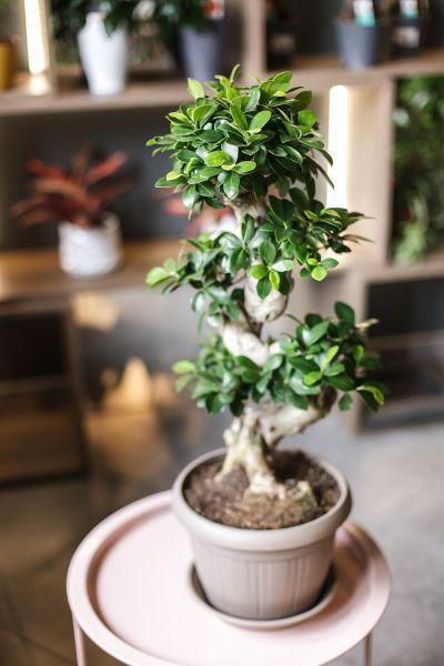 Фикус Гинсенг (Ficus Ginseng) 80 см