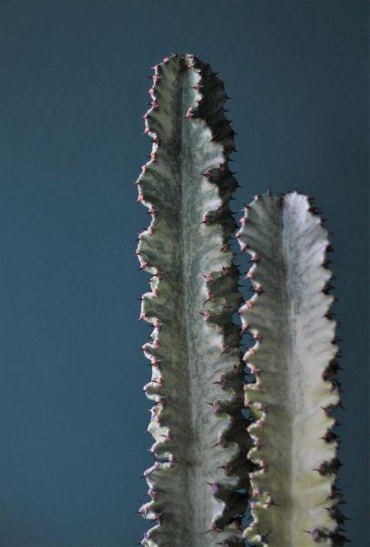 Эуфорбия Эритрея Вариегатная 90 см