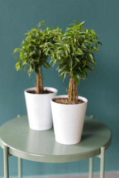 Фикус Наташа (Ficus Natasha)