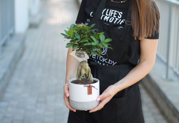 Фикус женьшень керамика (Ficus Ginseng)