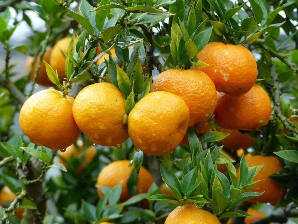 Citrus reticulata Clementine (Клементин)