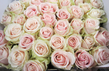 Роза Sweet Avalanche