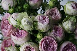Роза Lavender Lace