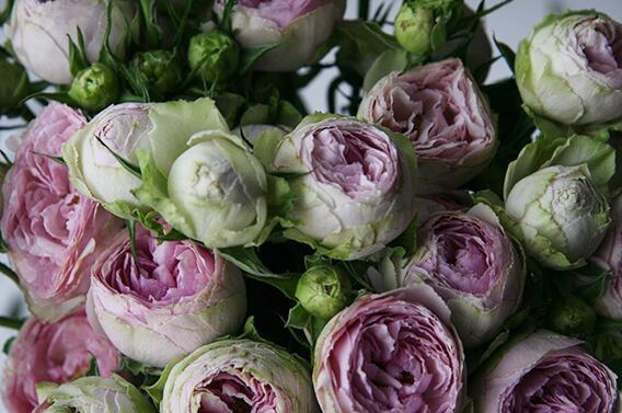 Кустовая роза Lavender Lace