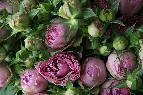 Кустовая роза Pink Lace