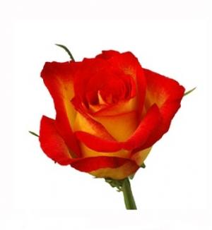 Роза Catch