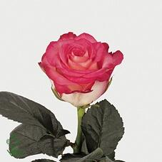 Роза N-Joy (Инджой)