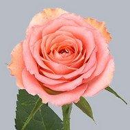 Роза Classic Duet (Классик Дуэт)