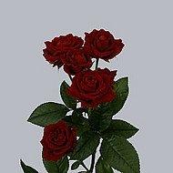 Розы Tamango