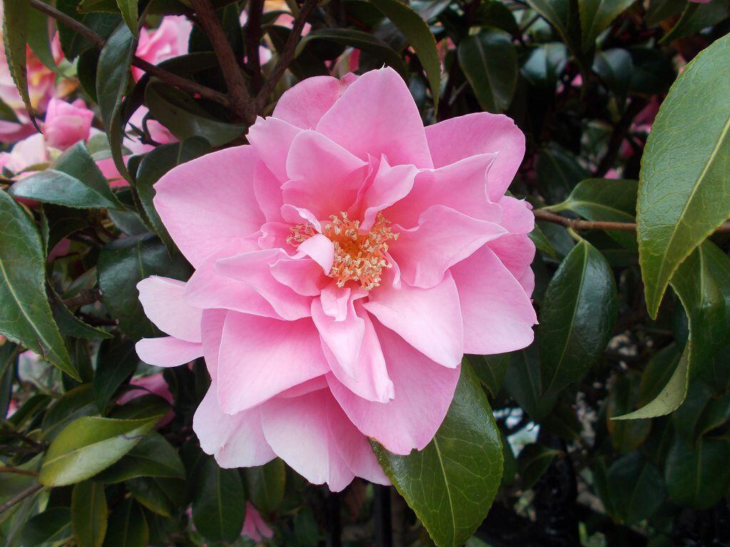 Камелия Японская (Camellia Japonica)