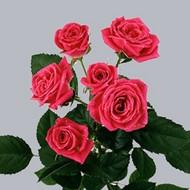 Розы Lovely Lidia