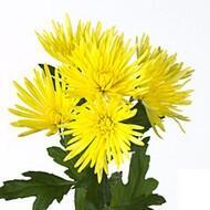 Хризантемы Anastasia Sunny