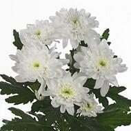 Хризантемы Zembla