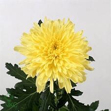 Хризантема Zembla Sunny одноголовая