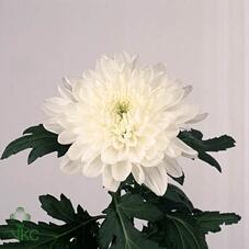 Хризантема Zembla White