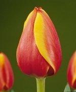 Тюльпан Kees Nelis