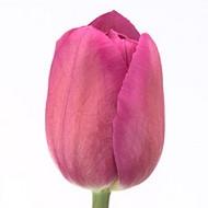 Тюльпан Barcelona