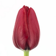 Тюльпан De France