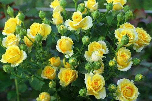 Кустовые розы Sun City