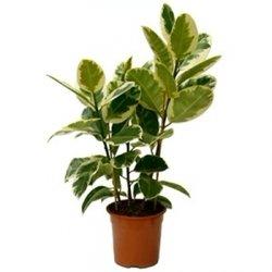 Ficus Tineke (Фикус Тинеке)