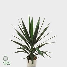Yucca Kopstek (Юкка Копстек)