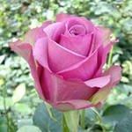 Роза Cool water