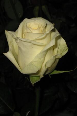 Роза Dolomiti (Доломити)
