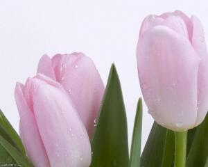 Тюльпан Pink Dream