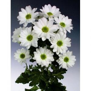 Хризантемы Bacardi White