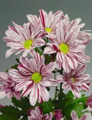 Хризантемы Artist Pink