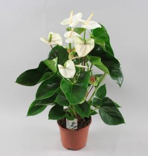 Anthurium white (Антуриум белый)
