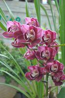 Орхидея Cimbidium