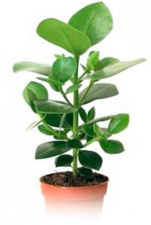 Клузия (Clusia rosea)