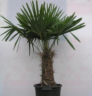 Трахикарпус Форчуна (Trachycarpus Fortunei)