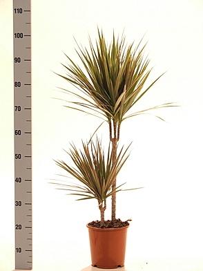 Драцена двухцветная(Dracaena Bicolor)