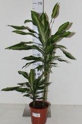 Драцена  Цинто(Dracaena Cintho)