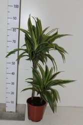 Драцена (Dracaena Surprise)