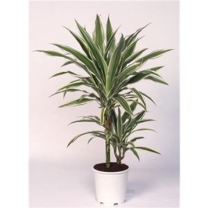 Драцена White Stripe(Dracaena White Stripe)